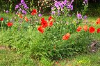 poppies & phlox