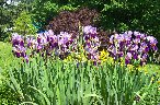 iris, daylilly & smoke tree